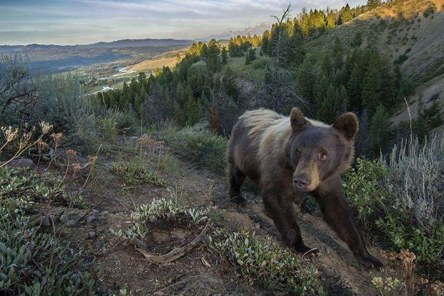 a black bear follows a trail in the mountains.
