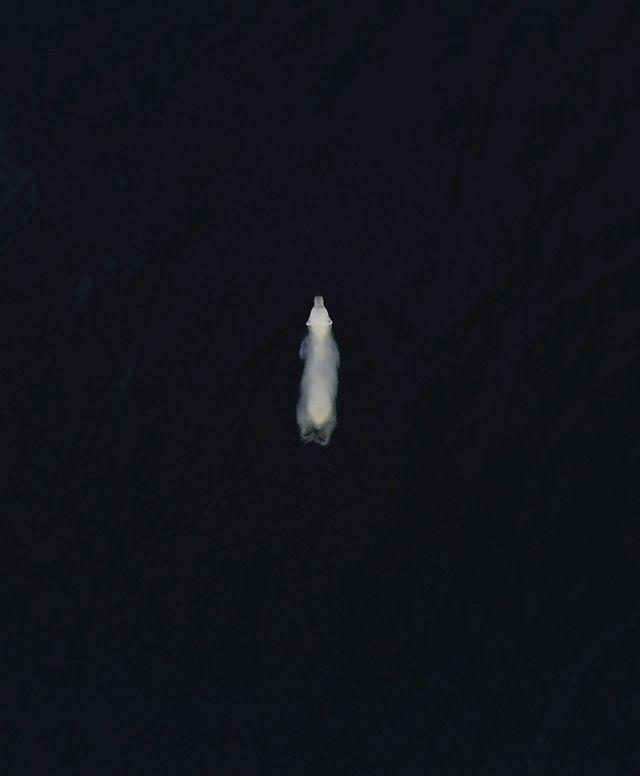 A polar bear swims in black water.
