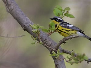 Male magnolia warblers have a black mask across its eyes with a white stripe just above its eyes along with distinctive black stripes down its yellow chest.