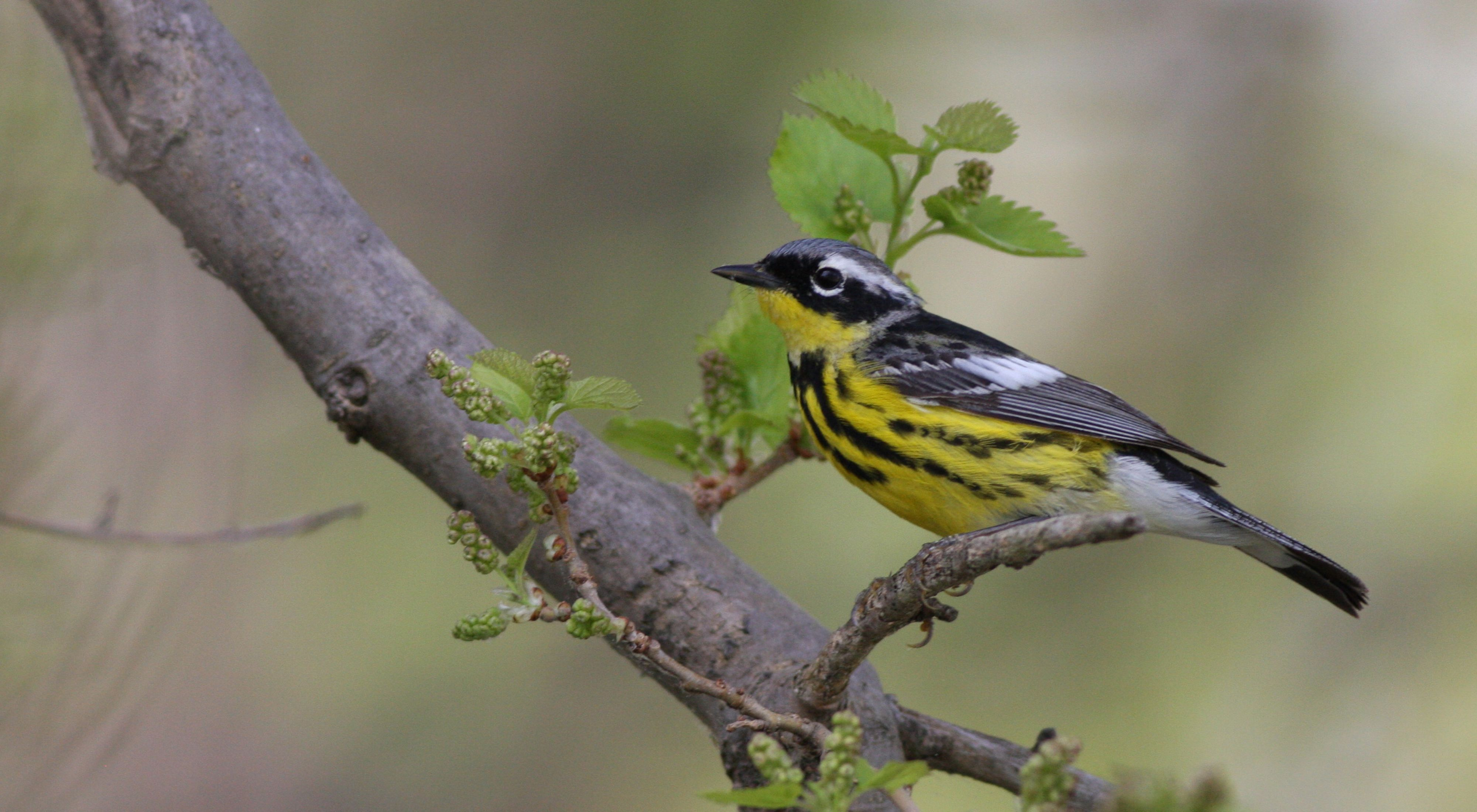 Gray and black bird with white stripe above the eye and yellow breast with black stripes sits on a small tree branch.