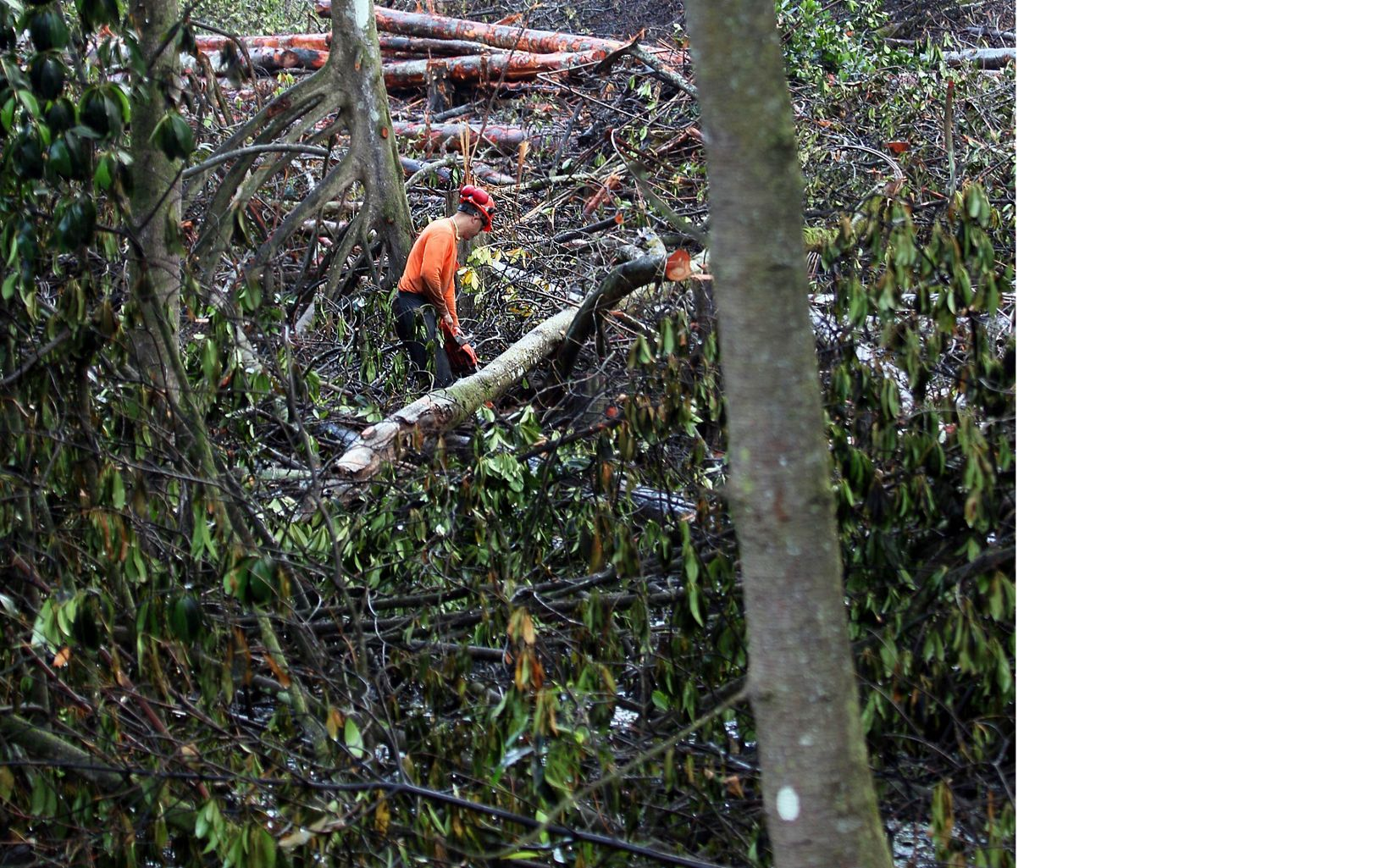 Worked clearing mangrove tress at Heʻeia