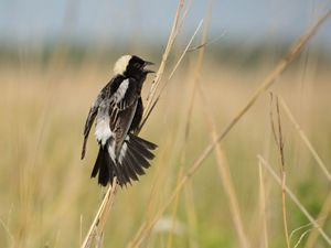 black and white bird perched on prairie grass