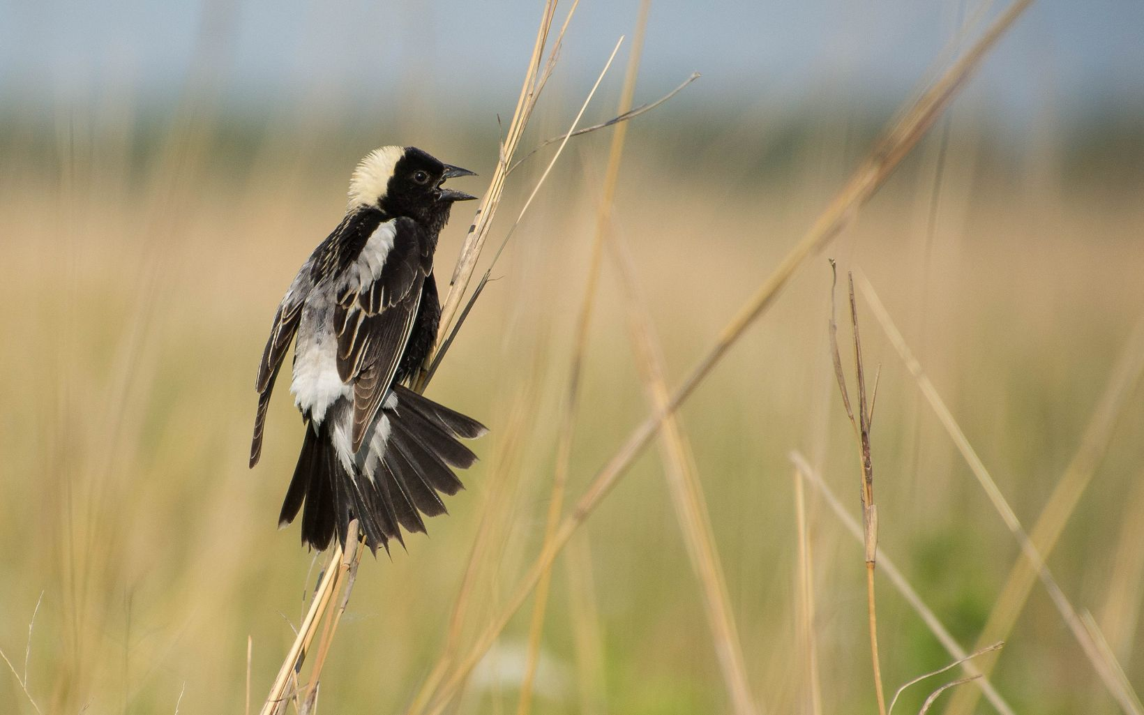 A black bird with a white crown and back perches on a tall grass frond.