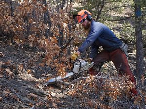 A worker with a chainsaw thinning a forest