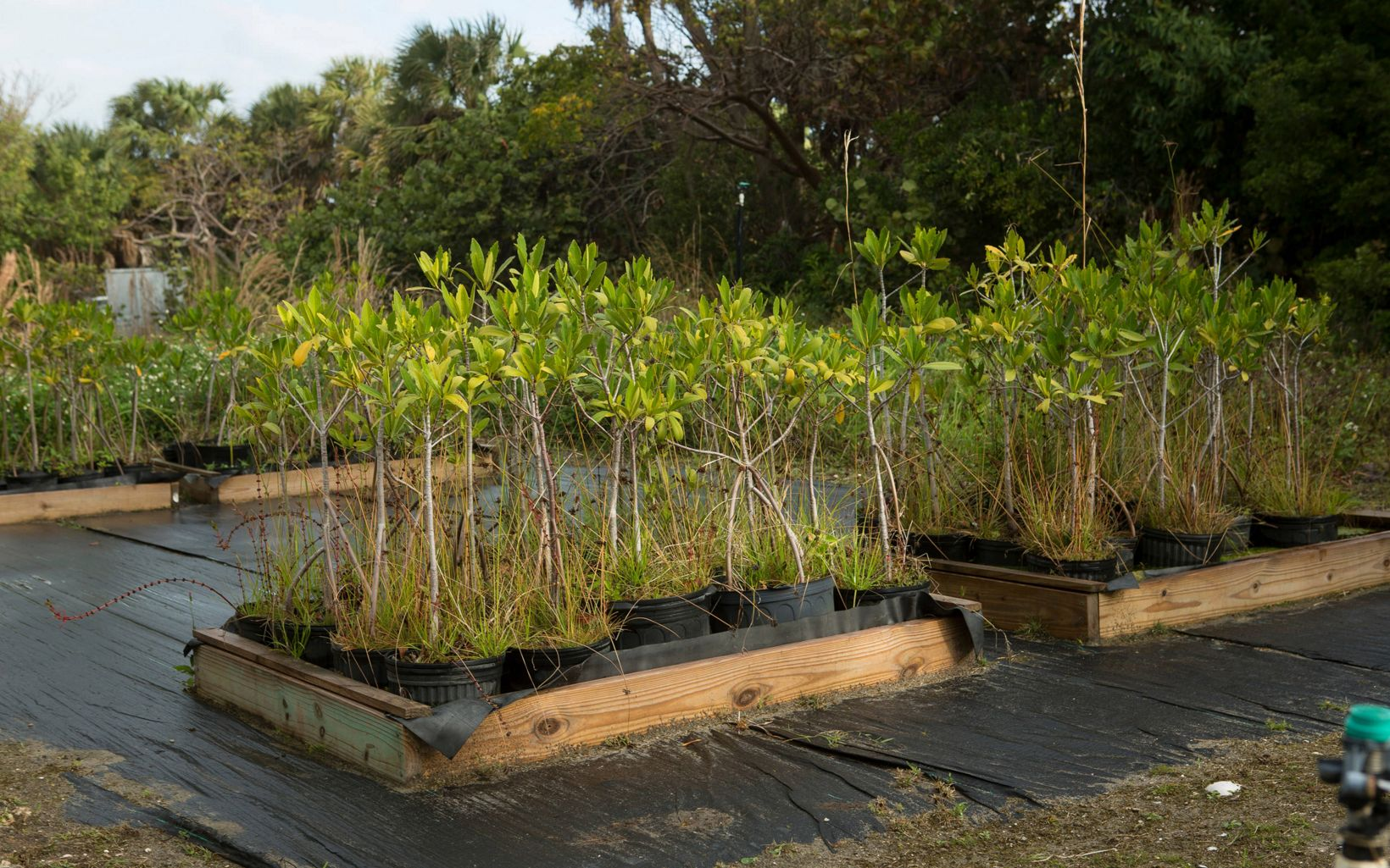 Mangroves grow in pots at the Blowing Rocks Preserve plant nursery.