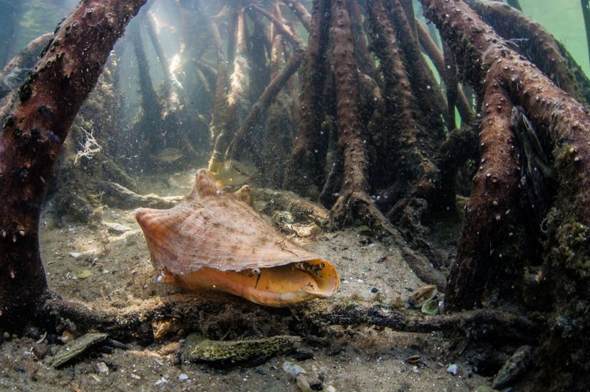 A conch rests in sand of a shallow ocean floor, surrounded by the roots of a mangrove forest.