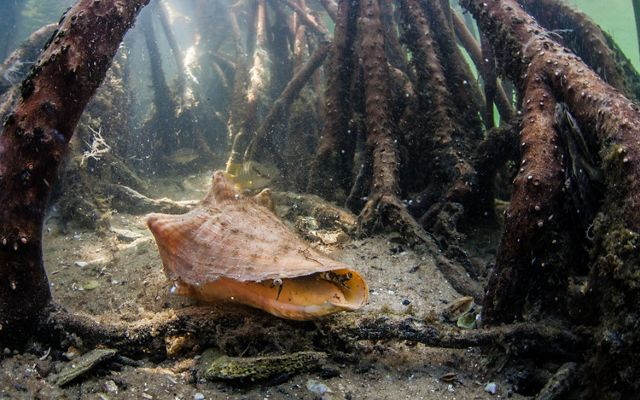 A conch peeks out from the sea floor among mangrove roots.