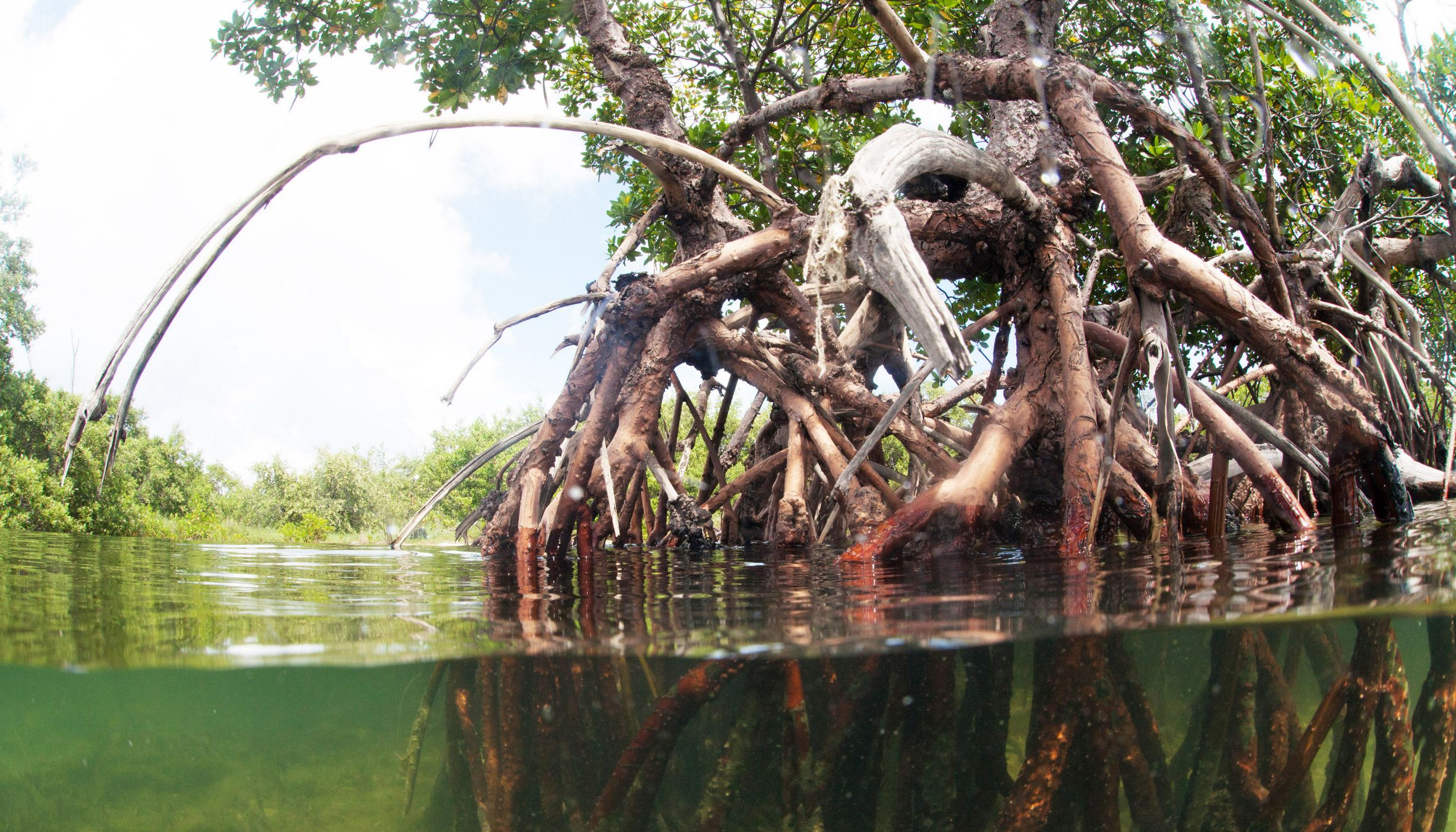 Close up view of mangrove roots.