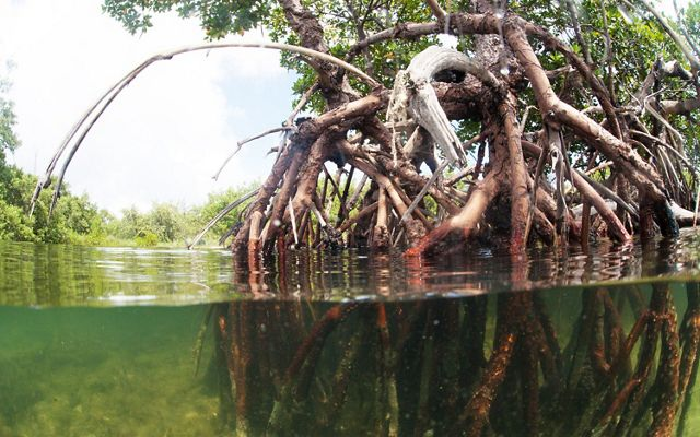 Mature mangroves take root along the shoreline, offering coastal protection and important habitat.