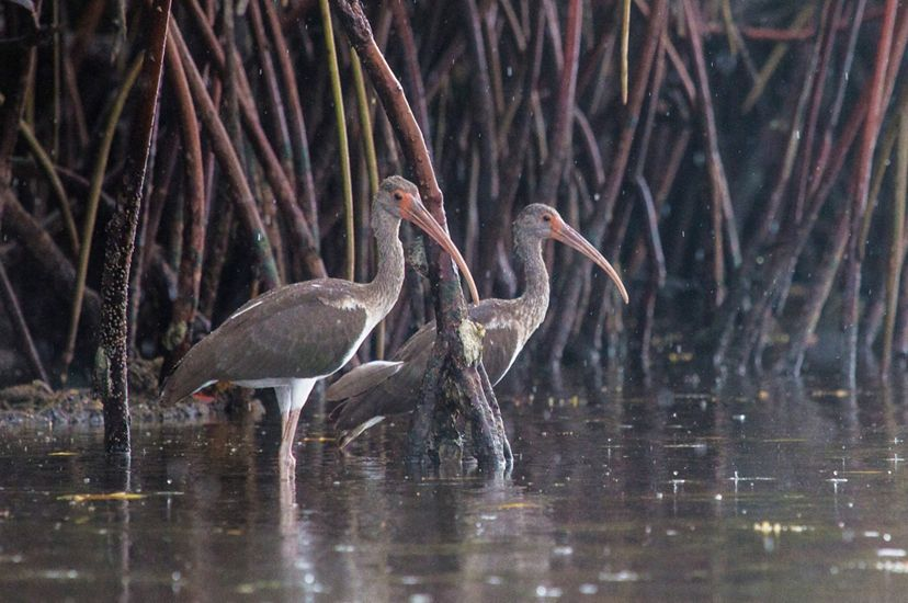 A pair of white ibis birds wade in shallow waters, surrounded by the roots of a mangrove forest.