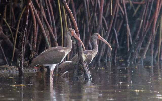 Two juvenile white ibis birds standing in a mangrove forest in Florida.