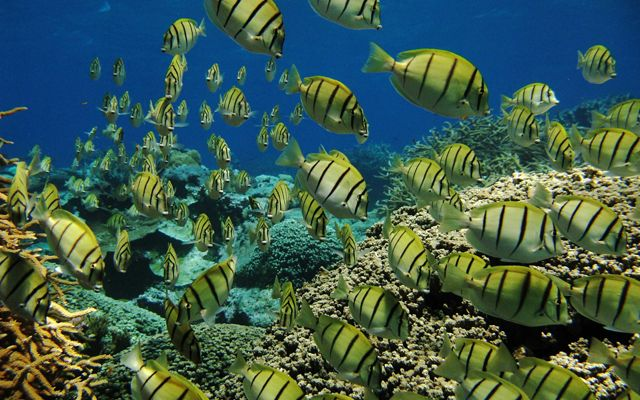 A dense school of yellow fish with black vertical stripes in bright blue water.