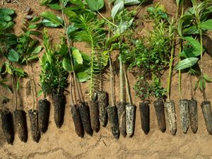 Native tree saplings are prepared for planting