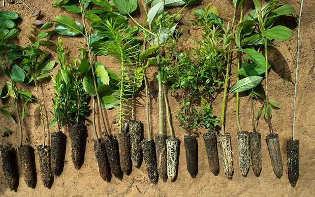 Native tree saplings are prepared for planting in the Mantiqueria range of Brazil's Atlantic Forest. TNC's Tackle Climate Change Program.