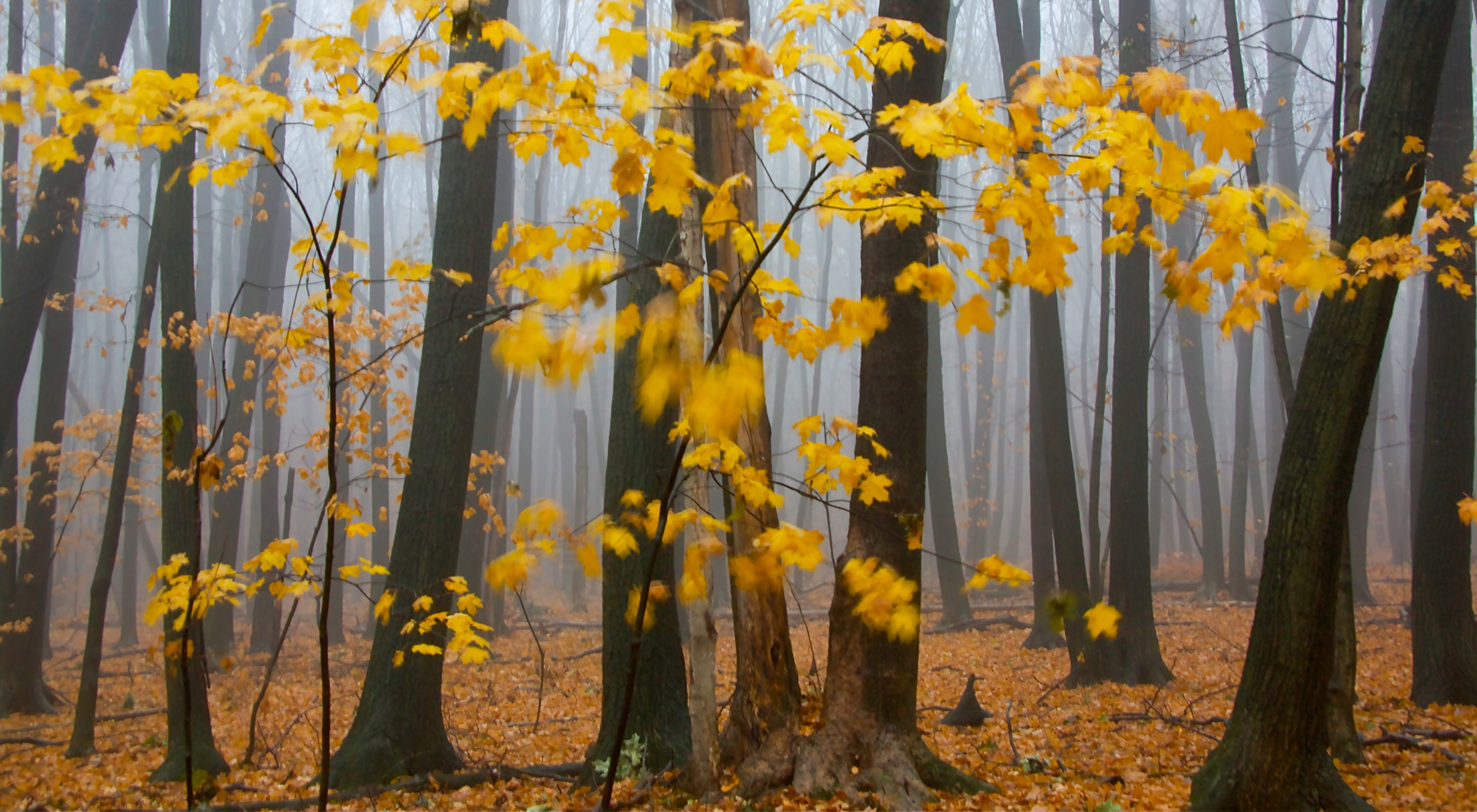 A Midwest favorite, maple trees are famous for their exceptional fall color and for making maple syrup.