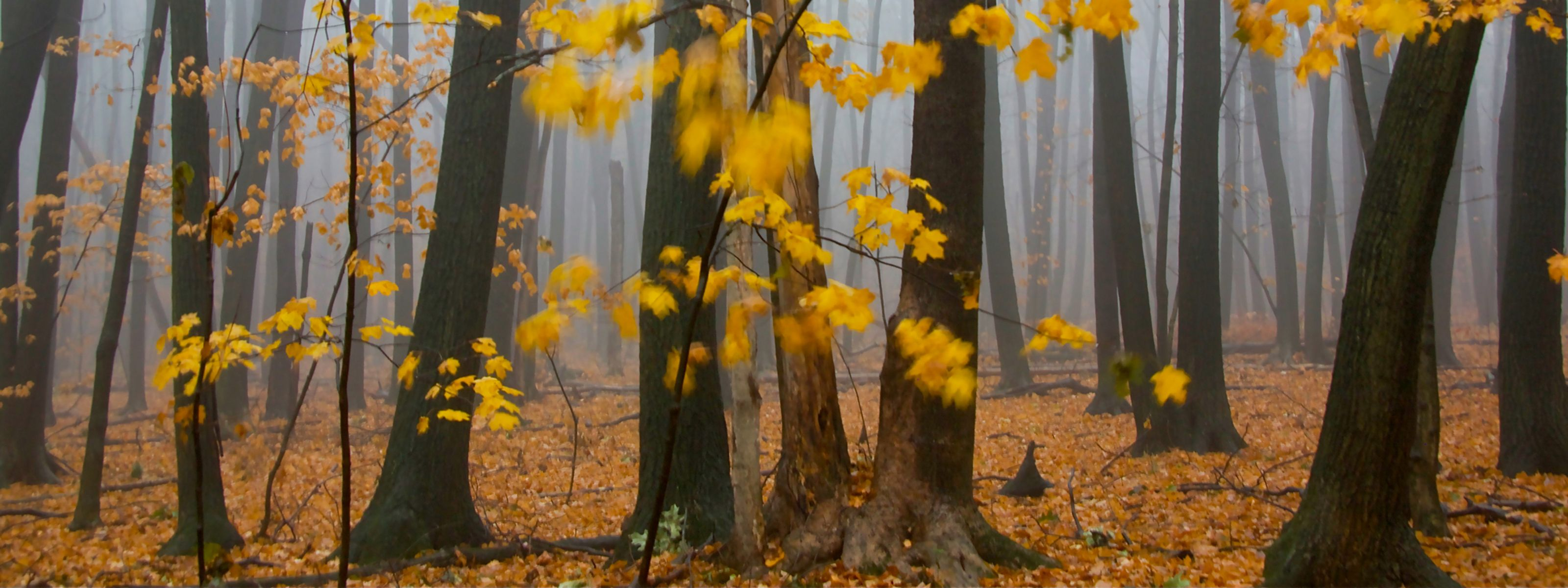 The yellow fall color of maple leaves waving in the wind brighten a foggy forest.