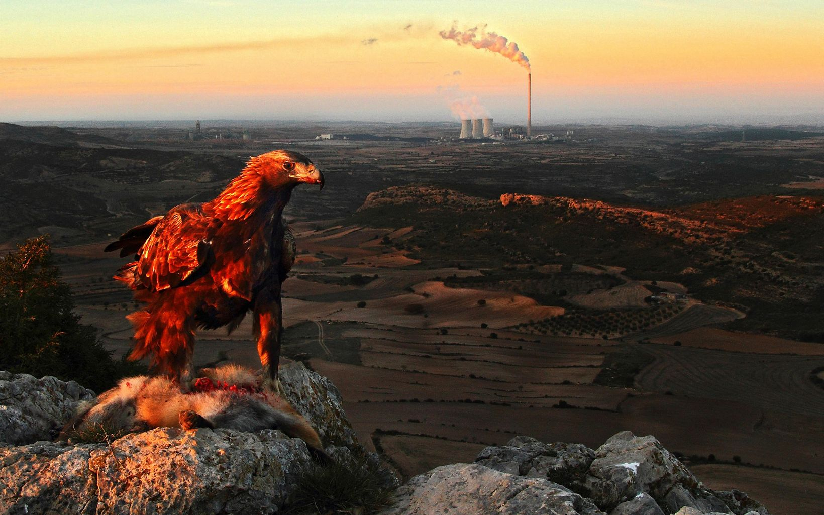 A male golden eagle feeds on a red fox. Behind stands the Andorra thermal power station (Aragon, Spain)