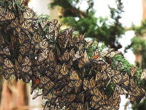 Tagged Carson Valley monarch found in colony in Santa Cruz