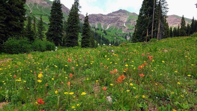 Colorful wildflowers in an alpine meadow in White River National Forest in Colorado.