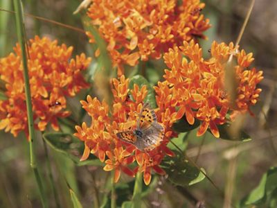 Close up of four clusters of small orange flowers with grasses and leaves in the background. An orange and black butterfly is perched on one cluster.