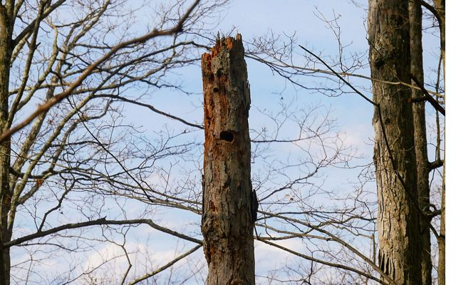 The upper part of a dead tree snag. Its top is broken off and jagged. Holes made by birds create the appearance of a face.