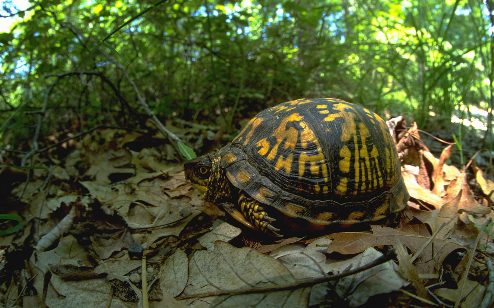 Closeup of a black and yellow box turtle sitting on a bed of dried leaves.