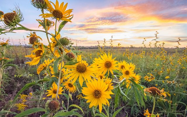 cluster of maximilion sunflowers over a prairie meadow