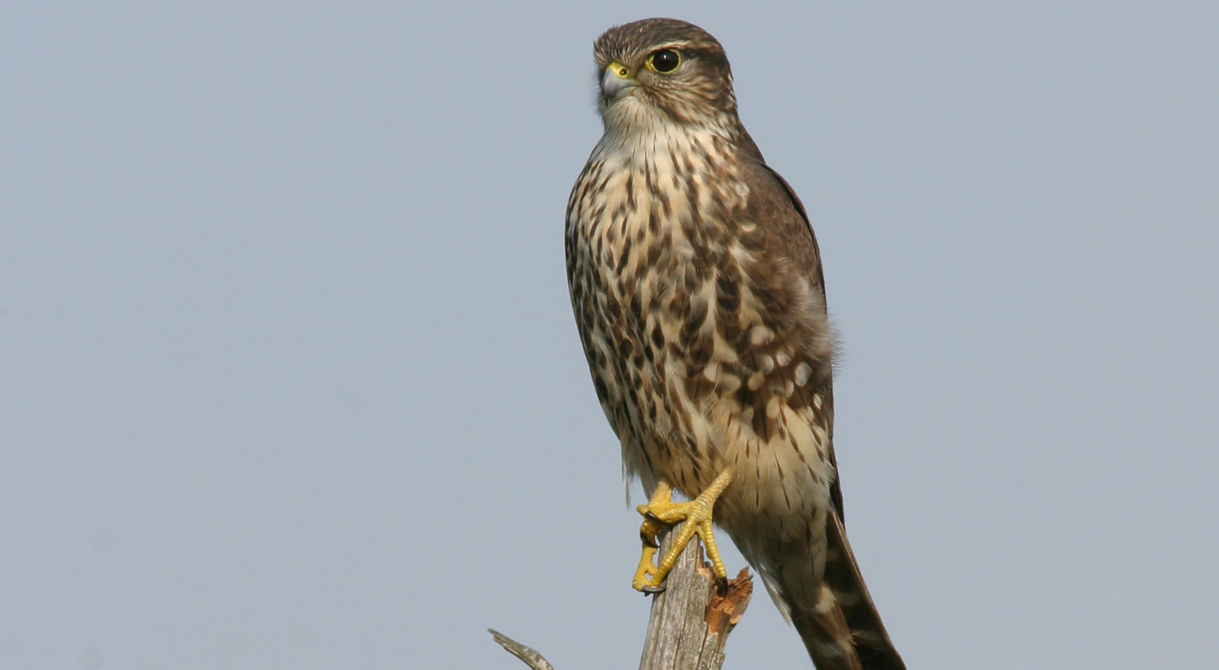 Merlin perched on branch.