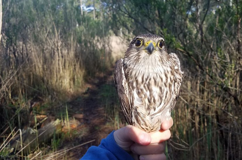 A hand tightly grips the feet of a small falcon. The bird has bright black eyes and brown and white mottled feathers.