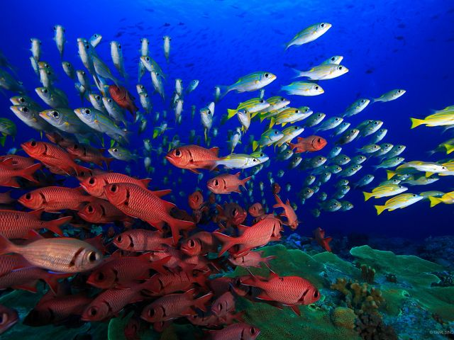 Underwater images of lots of fish in colors of yellow, red and white.