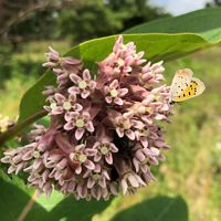 Common milkweed provides food for many pollinators but it is also the only plant that monarch butterfly caterpillars eat.