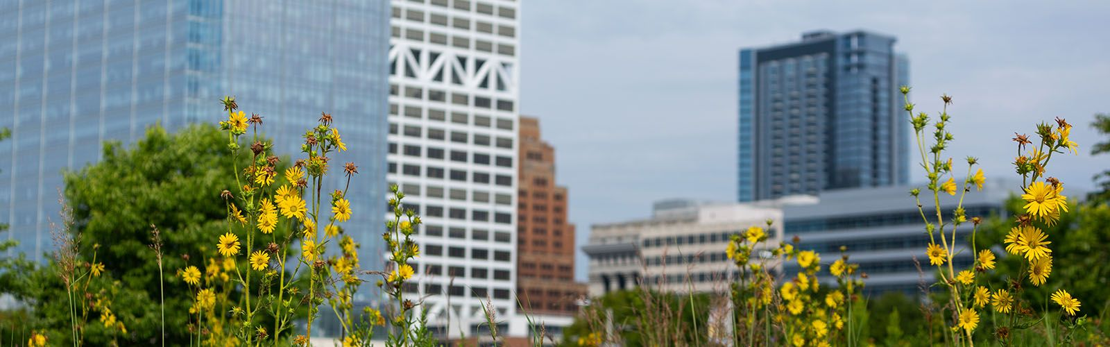 The tall stalks of a compass plant with yellow flowers in bloom in the foreground and a city with tall buildings in the background.