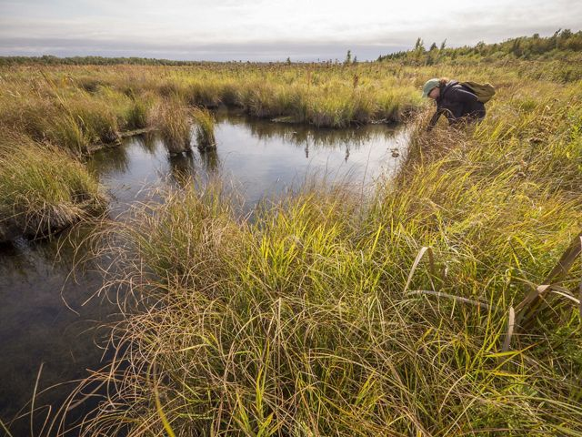 Young woman wearing a backpack and ball cap leans over to look into a wetland with a lot of standing water with sedges.