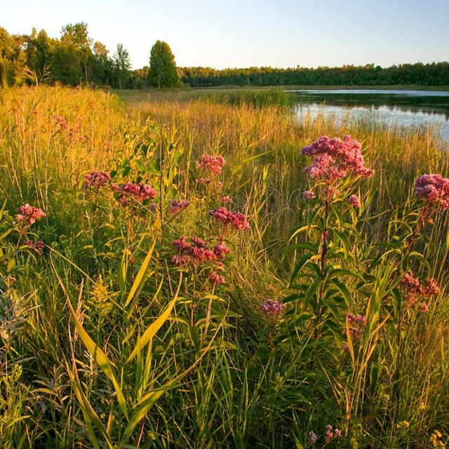 Pink Joe-Pye weed in the wetlands at Mink River