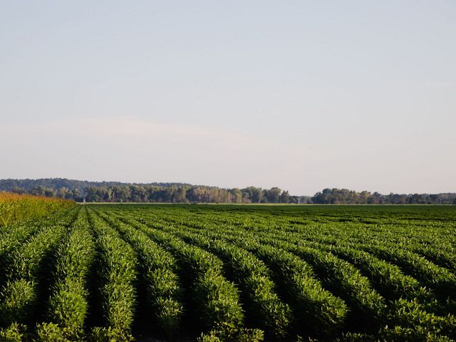 Rows of green crops.