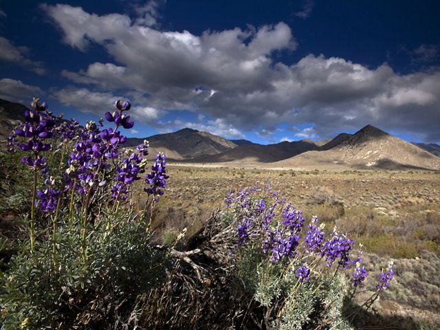 A. close up of flowering sage against a backdrop of the Tehachapi desert and mountains.