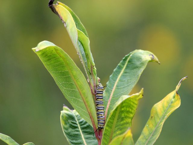The yellow and black striped caterpillar of a monarch butterfly inches its way up between the leaves of a green plant.
