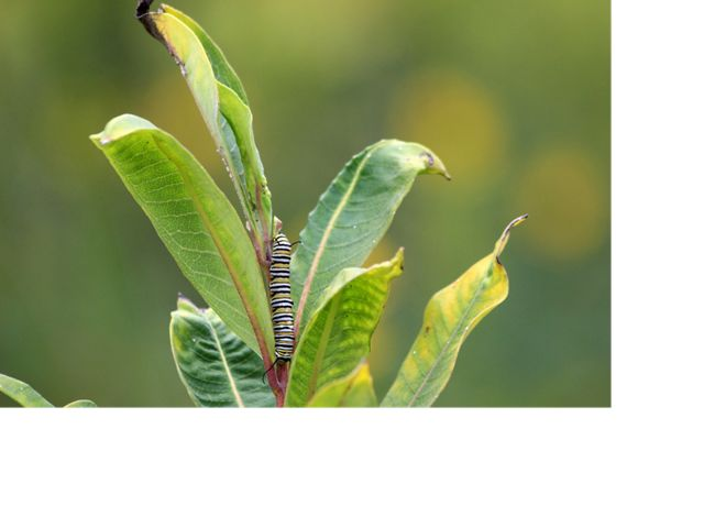 Monarch caterpillar on milkweed, Hidden Valley Recreation Area, George Washington National Forest, Virginia.