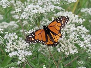 Orange-winged butterfly on white-flowered plant.
