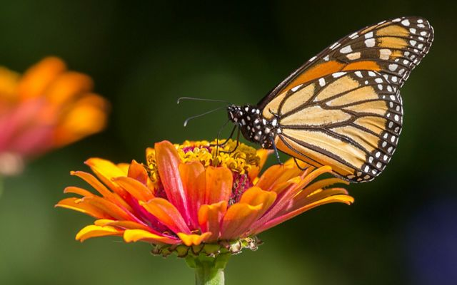 A monarch butterfly on a blooming flower.