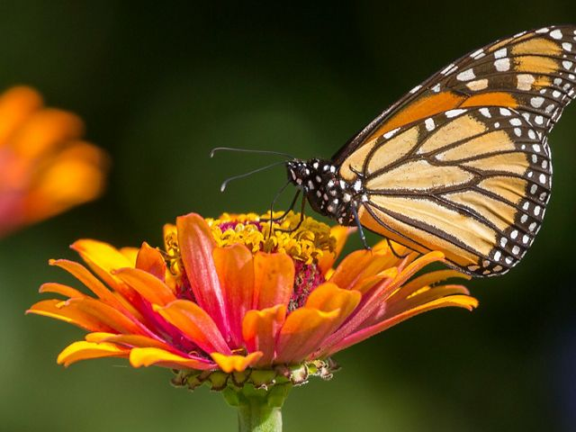 A monarch butterfly rests on a flower.