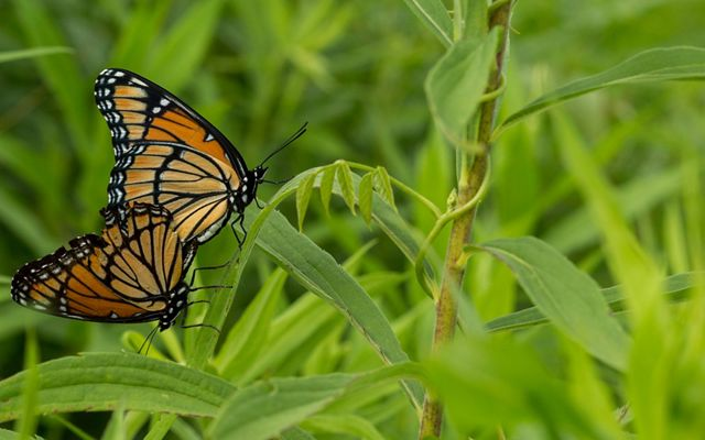 Two orange, yellow and black monarchs resting on a green plant.