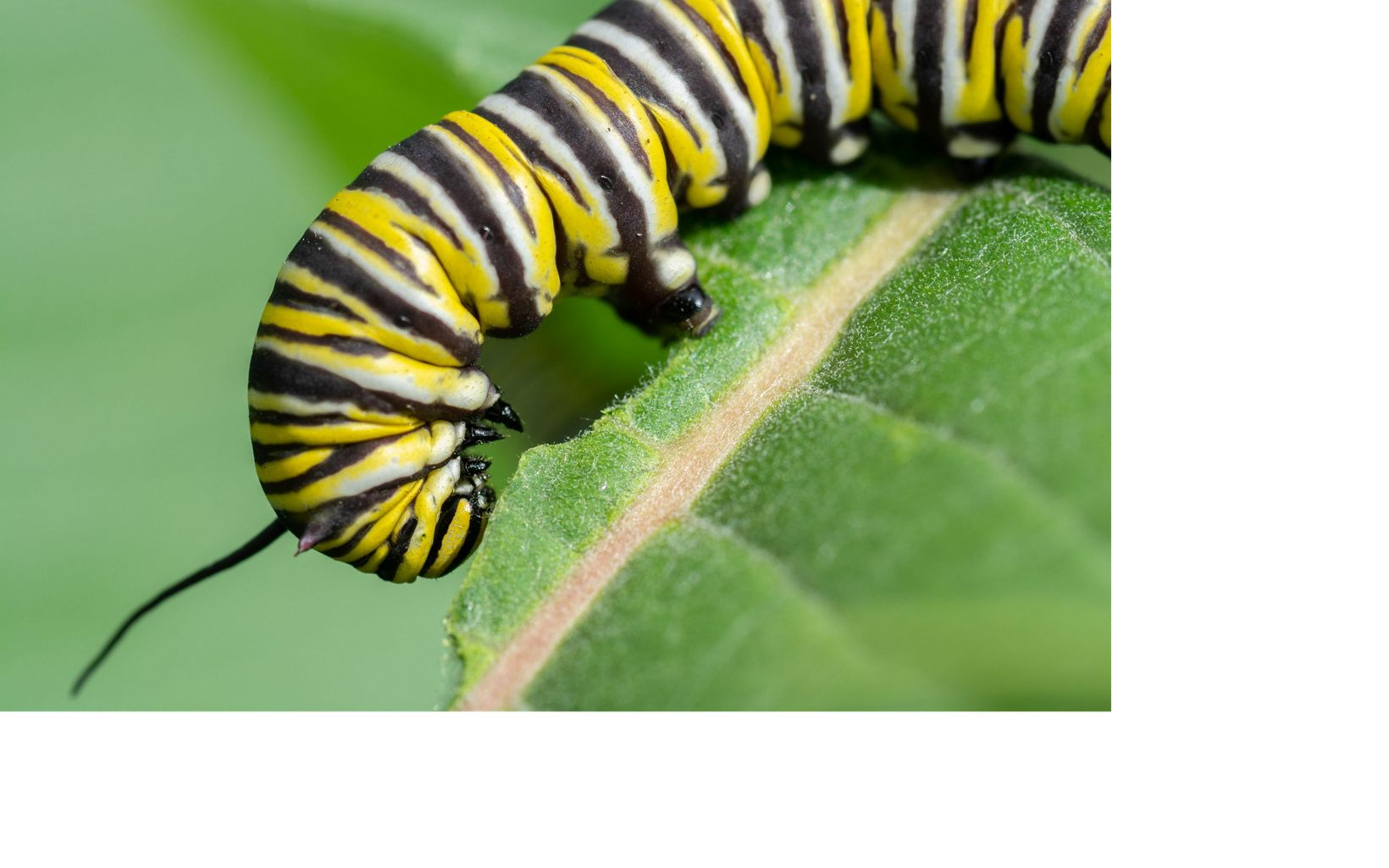 Black, white and yellow striped caterpillar feeding on green leaf.