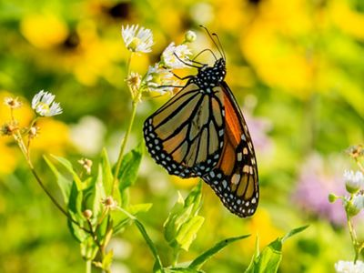 An orange, yellow and black monarch with its wings closed feeds from a white flower.