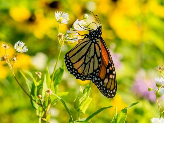 Monarch butterfly on prairie plants.