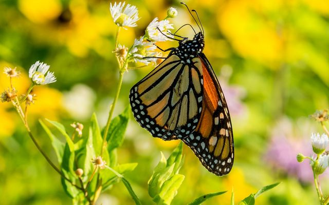 A yellow and orange butterfly with marbled black stripes and white spots around the edges of the wings.
