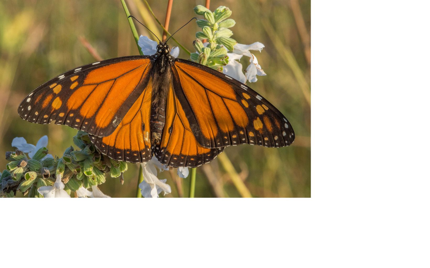 Orange and black butterfly feeding on light green plant with white flowers.