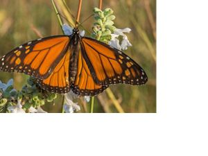 Black and orange butterfly rests on green and white flowered plant.