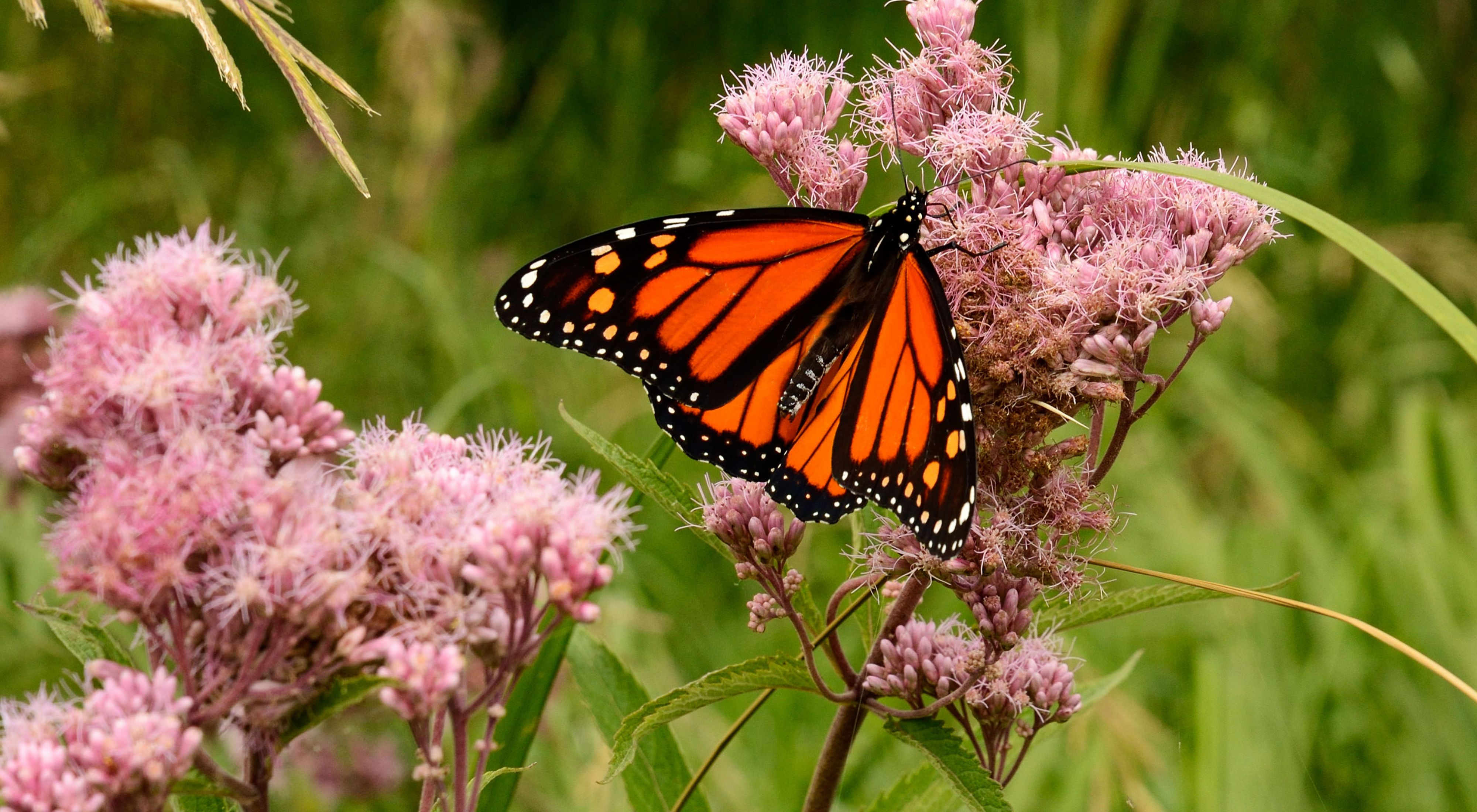Orange and black monarch butterfly with wings spread on a light pink prairie wildflower Joe pye-weed.