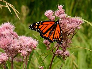 Orange and black monarch butterfly on pink Joe-pye weed